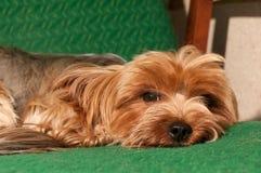Terrier de Yorkshire bonito Fotos de Stock Royalty Free