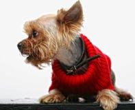 Terrier de Yorkshire de chiot Images libres de droits