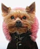 Terrier de Yorkshire de chiot Photographie stock libre de droits