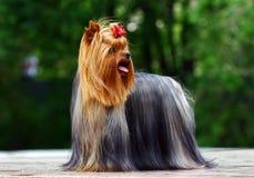 Terrier de Yorkshire com curva Foto de Stock
