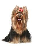 Terrier de Yorkshire con el arqueamiento rojo Fotografía de archivo