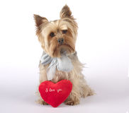 Terrier de Yorkshire con el corazón, te amo fotos de archivo libres de regalías