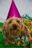 Terrier de Yorkshire con el sombrero, carneval Imagenes de archivo