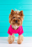 Terrier de Yorkshire dans une chemise rose sur le fond Images stock