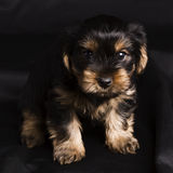 Terrier de Yorkshire de chiot en plan rapproché de studio Image libre de droits