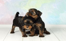 Terrier de Yorkshire de dois filhotes de cachorro fotografia de stock