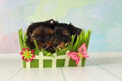 Terrier de Yorkshire de dos perritos Imágenes de archivo libres de regalías