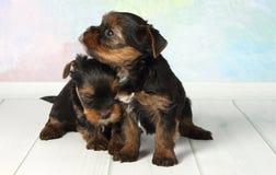 Terrier de Yorkshire de dos perritos foto de archivo libre de regalías