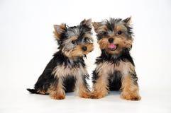 Terrier de Yorkshire de dos perritos Imagen de archivo libre de regalías