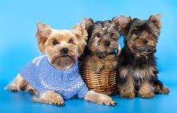 Terrier de Yorkshire de los perritos Imagen de archivo libre de regalías