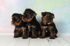 Terrier de Yorkshire de três filhotes de cachorro fotos de stock royalty free