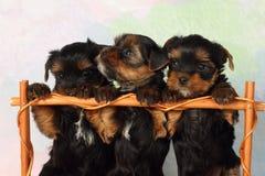 Terrier de Yorkshire de tres perritos Fotografía de archivo