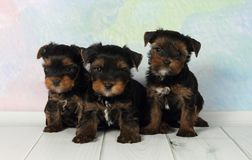 Terrier de Yorkshire de tres perritos Imágenes de archivo libres de regalías