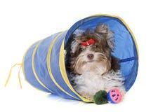 Terrier de Yorkshire del biro del perrito foto de archivo