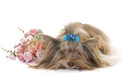 Terrier de Yorkshire del biro del perrito imagenes de archivo