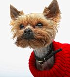 Terrier de Yorkshire del perrito Fotos de archivo
