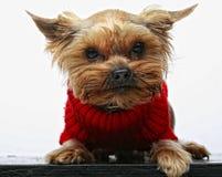 Terrier de Yorkshire del perrito Foto de archivo libre de regalías