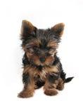 Terrier de Yorkshire del perrito Imagenes de archivo