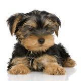 Terrier de Yorkshire del perrito Imágenes de archivo libres de regalías