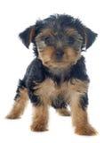 Terrier de Yorkshire del perrito Fotografía de archivo