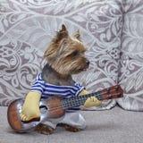 Terrier de Yorkshire del perro que toca la guitarra ukulele fotografía de archivo