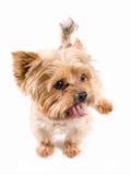 Terrier de yorkshire del varón adulto Foto de archivo