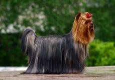 Terrier de Yorkshire do encanto com curva Fotos de Stock