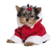 Terrier de Yorkshire do filhote de cachorro, vestido no revestimento de Santa Foto de Stock Royalty Free