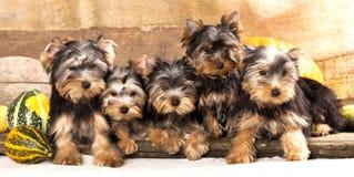 terrier de Yorkshire dos filhotes de cachorro fotografia de stock