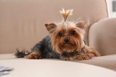 Terrier de Yorkshire en el sofá dentro foto de archivo