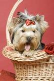 Terrier de Yorkshire en fondo rojo foto de archivo libre de regalías