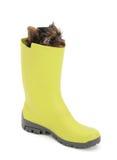 Terrier de Yorkshire en gumboots verdes Imagenes de archivo