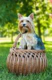 Terrier de Yorkshire en la cesta al aire libre Fotos de archivo