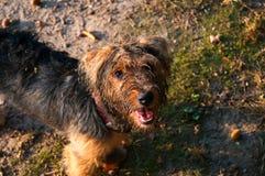 Terrier de Yorkshire en paseo Fotografía de archivo