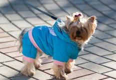 Terrier de Yorkshire en ropa Imagenes de archivo