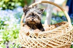 Terrier de Yorkshire en una cesta Imágenes de archivo libres de regalías