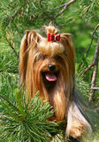 Terrier de Yorkshire engraçado Fotos de Stock