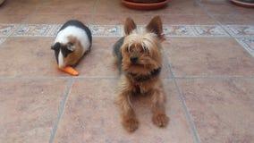 Terrier de Yorkshire et amis de cobaye Photo libre de droits