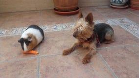 Terrier de Yorkshire et amis de cobaye Photos stock