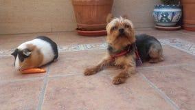 Terrier de Yorkshire et amis de cobaye Photos libres de droits