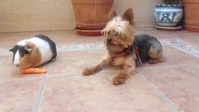 Terrier de Yorkshire et amis de cobaye Image stock