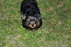 Terrier de Yorkshire gallardo del perrito Imagenes de archivo