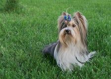 Terrier de Yorkshire masculino hermoso del castor de la raza del perro con el arco en un césped verde Fotografía de archivo