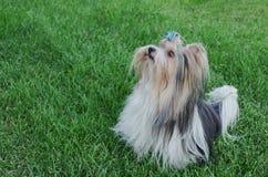 Terrier de Yorkshire masculino hermoso del castor de la raza del perro con el arco en un césped verde Imagen de archivo