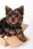 Terrier de Yorkshire na caixa de cartão Fotografia de Stock Royalty Free