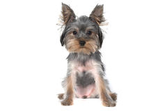 Terrier de Yorkshire no branco Fotos de Stock Royalty Free