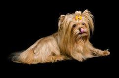 Terrier de Yorkshire no preto foto de stock royalty free