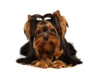Terrier de Yorkshire novo Foto de Stock