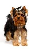 Terrier de Yorkshire novo Imagens de Stock