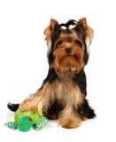 Terrier de Yorkshire novo com o brinquedo de sorriso da râ Imagem de Stock Royalty Free